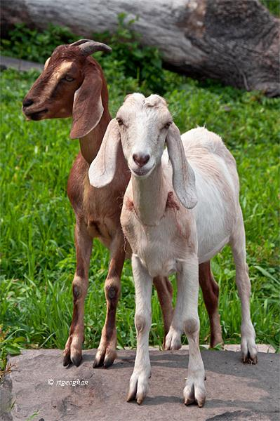 Two Wednesdays or Blue Grass Fed Goats on Beer